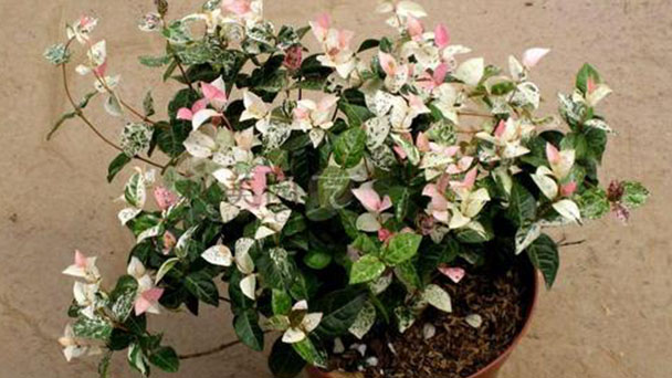How to grow and care for Star jasmine