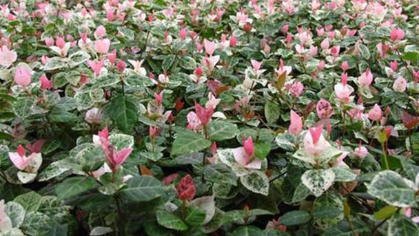 How to propagate Star jasmine