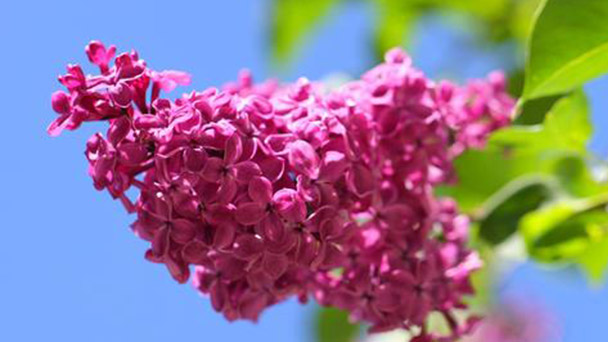 How to propagate Syringa Villosa