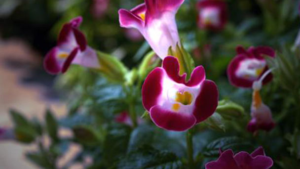 How to grow and care for Wishbone flower