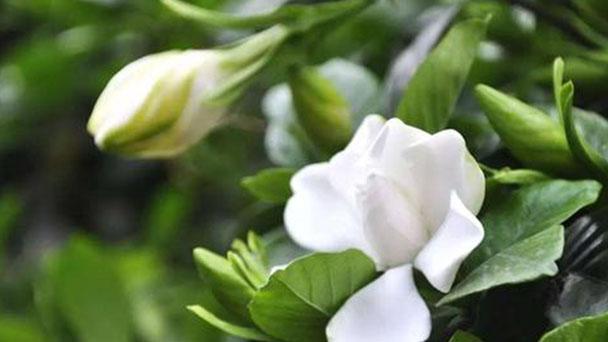 Cape jasmine profile