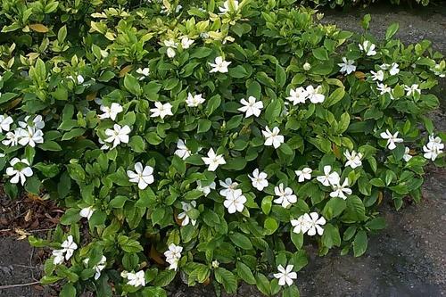 Cape Jasmine care