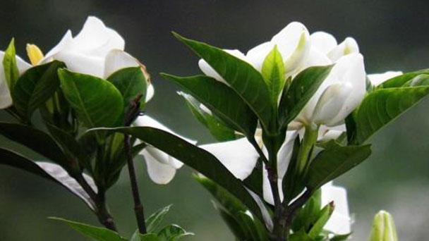 Growing Cape Jasmine care