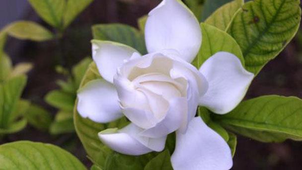 How to propagate Cape jasmine