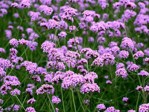 Common Verbena