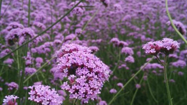 How to grow and care for Common Verbena