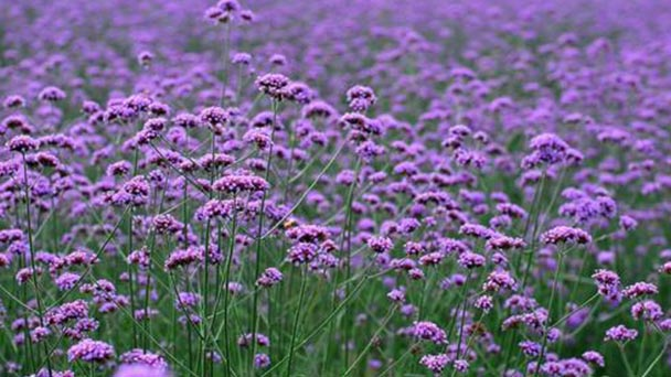 How to propagate Common verbena