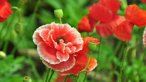 How to grow and care for Common poppy