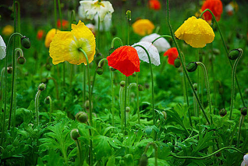 propagation methods of Common poppy