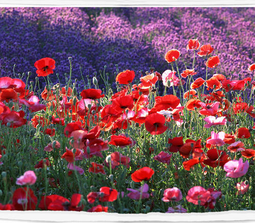 grow and care for Common poppy