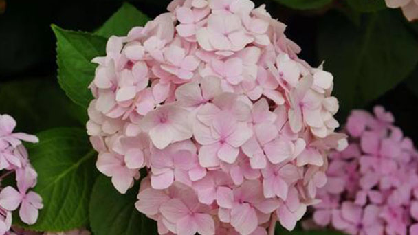 French hydrangea profile