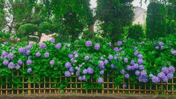How to care for French Hydrangea