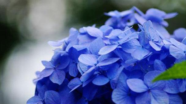 How to propagate French hydrangea
