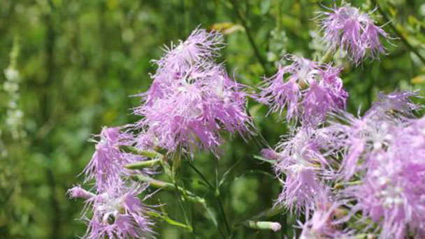 How to grow and care for Fringed pink