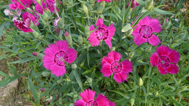 How to propagate Fringed pink