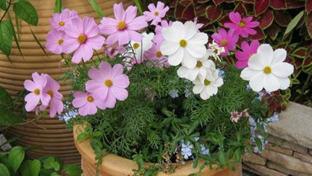 How to grow and care for Garden Cosmos
