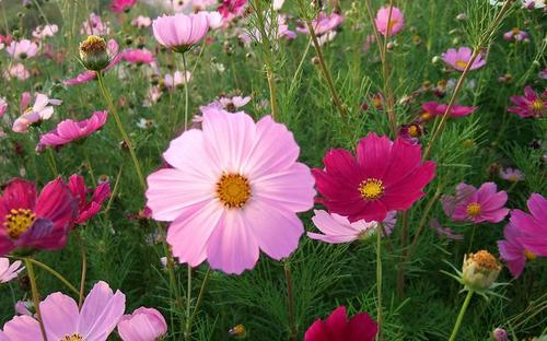 propagation method of Garden Cosmos