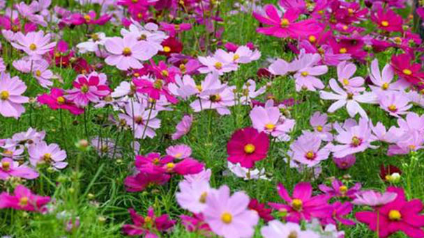 How to propagate Garden Cosmos