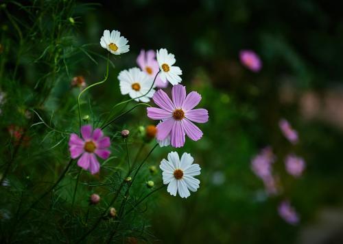 grow and care for Garden Cosmos