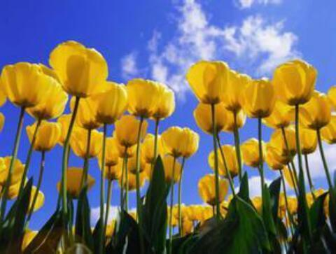 grow and care for Garden Tulip