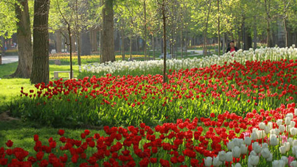 How to grow and care for Garden Tulip