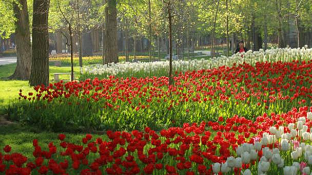 How to propagate Garden tulip