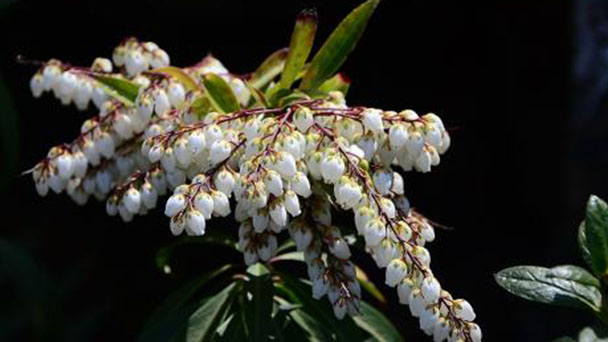 How to propagate Pieris japonica