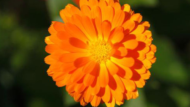 Pot marigold profile