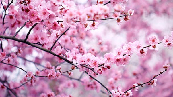 Prunus blireiana profile