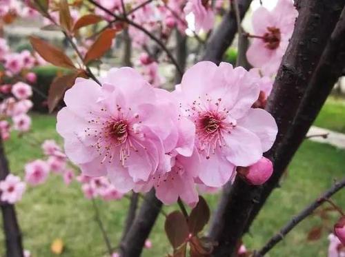 Prunus Blireiana
