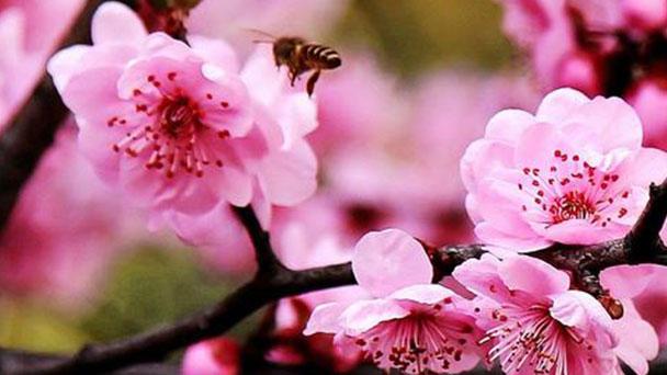 How to grow and care for Prunus Blireiana