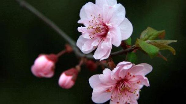 How to propagate Prunus blireiana