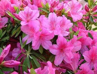 grow and care for Azalea Bonsai Tree