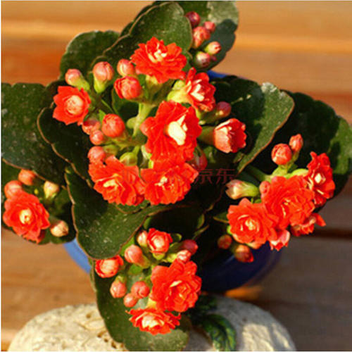 Florist Kalanchoe care