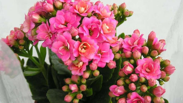 How to care for Florist Kalanchoe