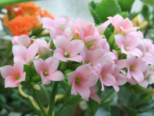 grow and care for Florist Kalanchoe
