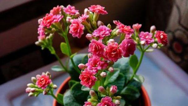 How to grow and care for Florist Kalanchoe