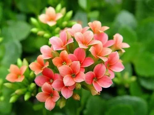 propagation method of Florist Kalanchoe