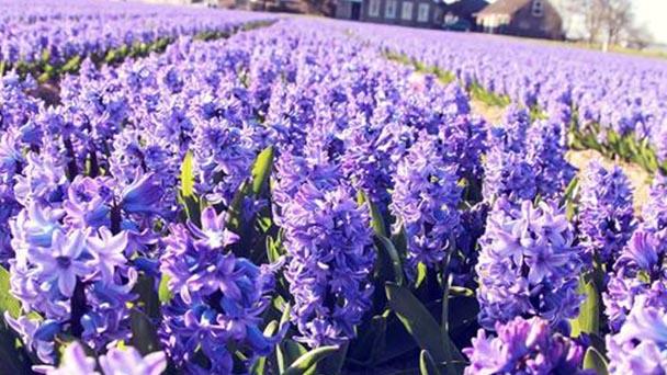 Hyacinth profile