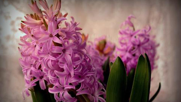 How to grow and care for Hyacinth