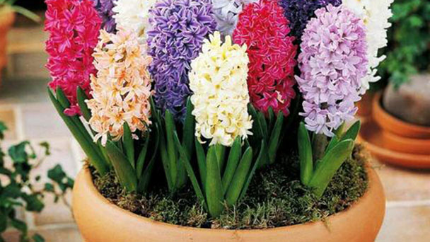How to propagate Hyacinth