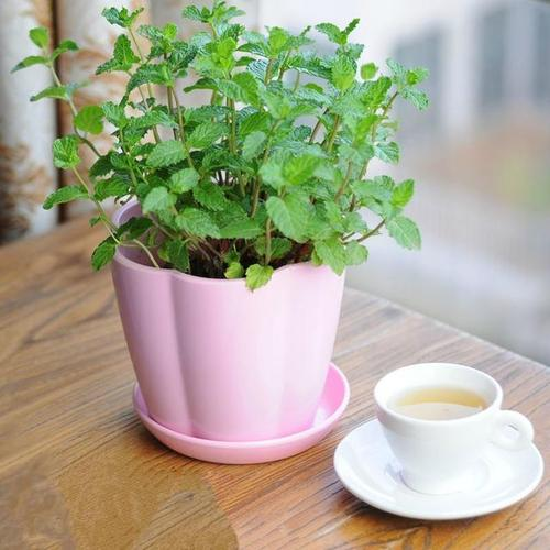 grow and care for mint