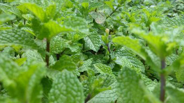 Mint plant care: How to grow and care for mint