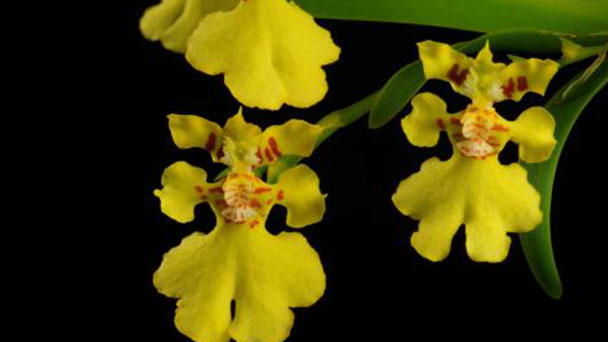 Orchid hybrid profile