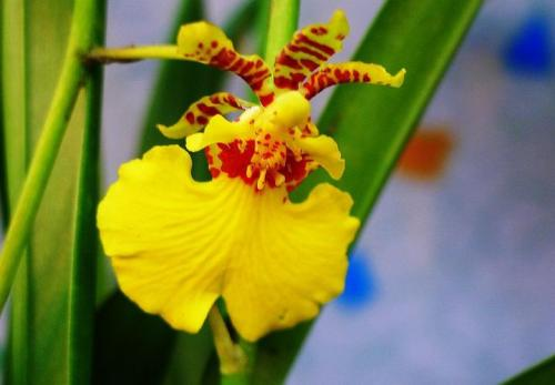 growing Orchid Hybrid care