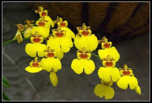 Orchid Hybrid propagation methods.