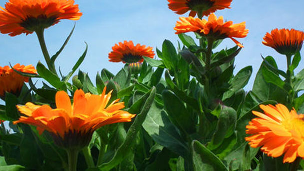 How to grow and care for Pot marigold