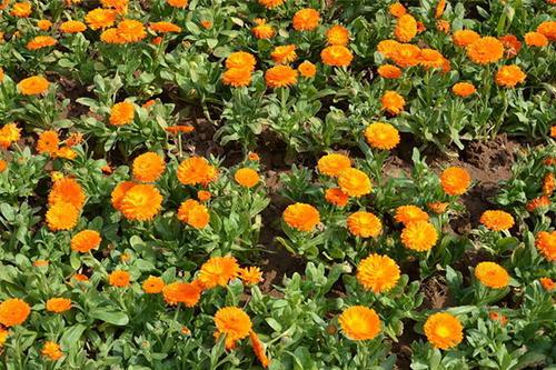 propagation methods of Pot marigold
