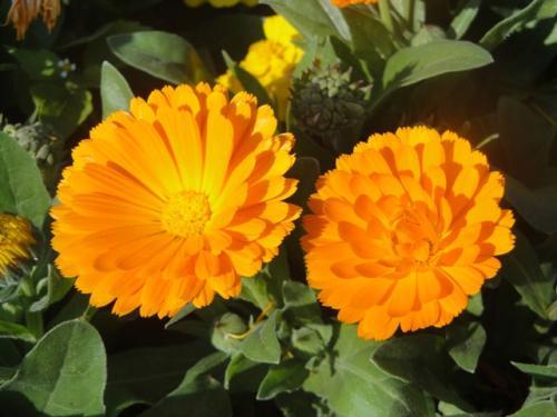 Pot marigold