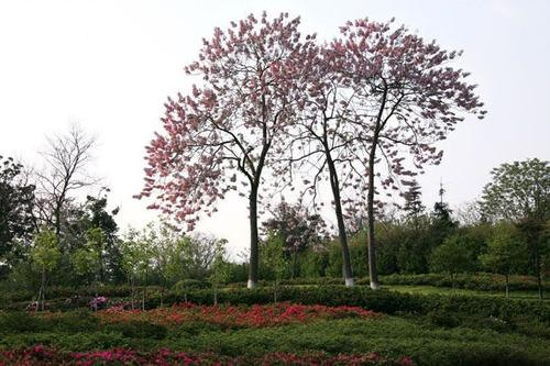 grow and care for Princess tree
